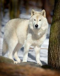 72309_WHITE WOLF