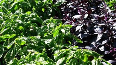 purpurni-i-zeleni-bosiljak-880x495